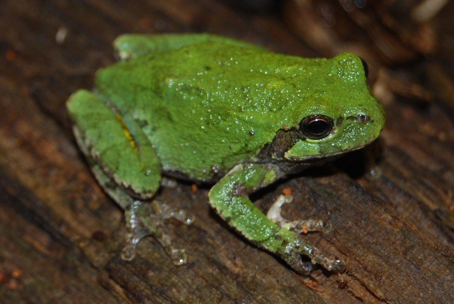 Cope\'s Gray Treefrog (Hyla chrysoscelis) - Amphibians and Reptiles ...
