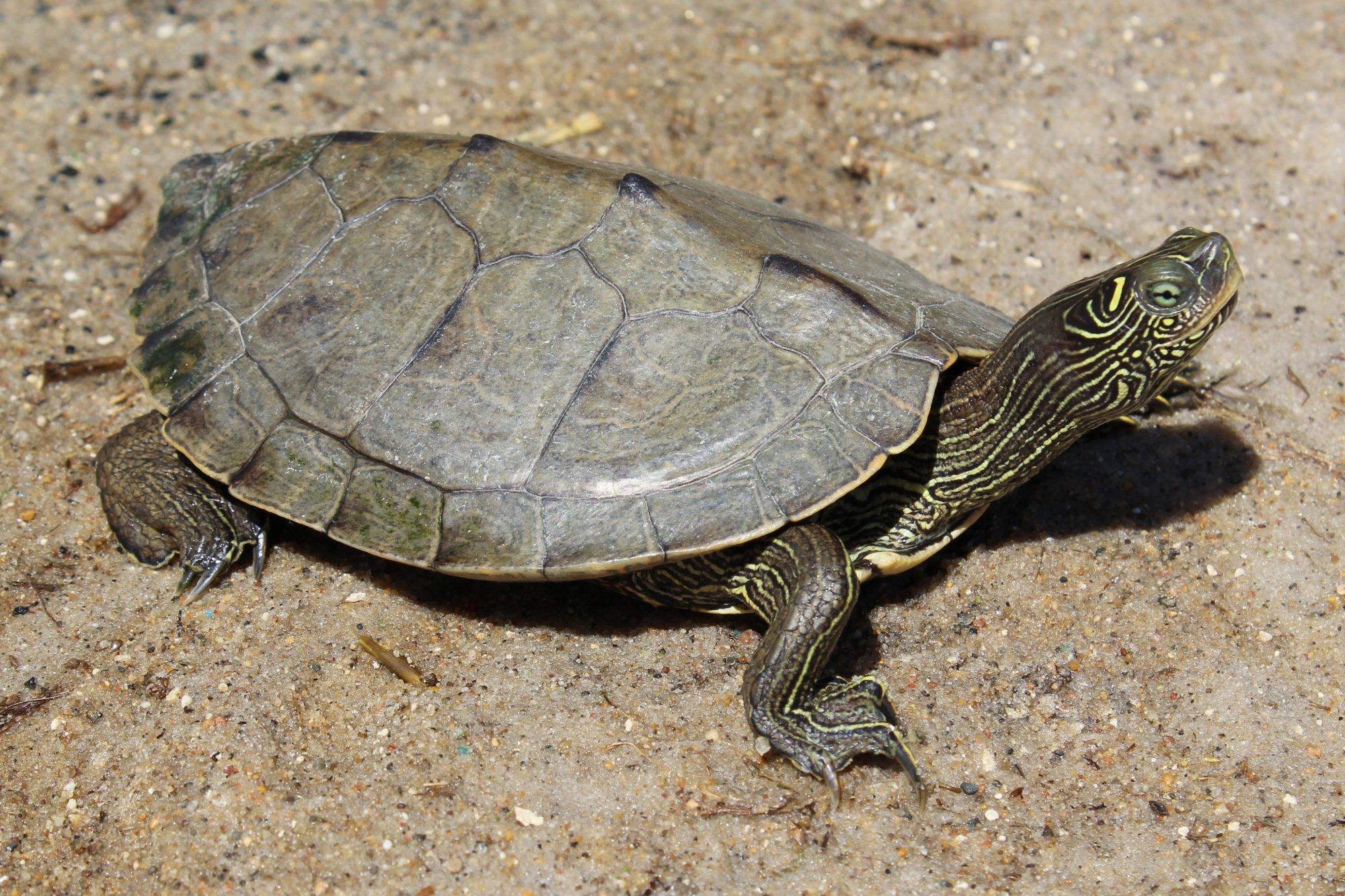 False Map Turtle False Map Turtle (Graptemys pseudogeographica)   Amphibians and