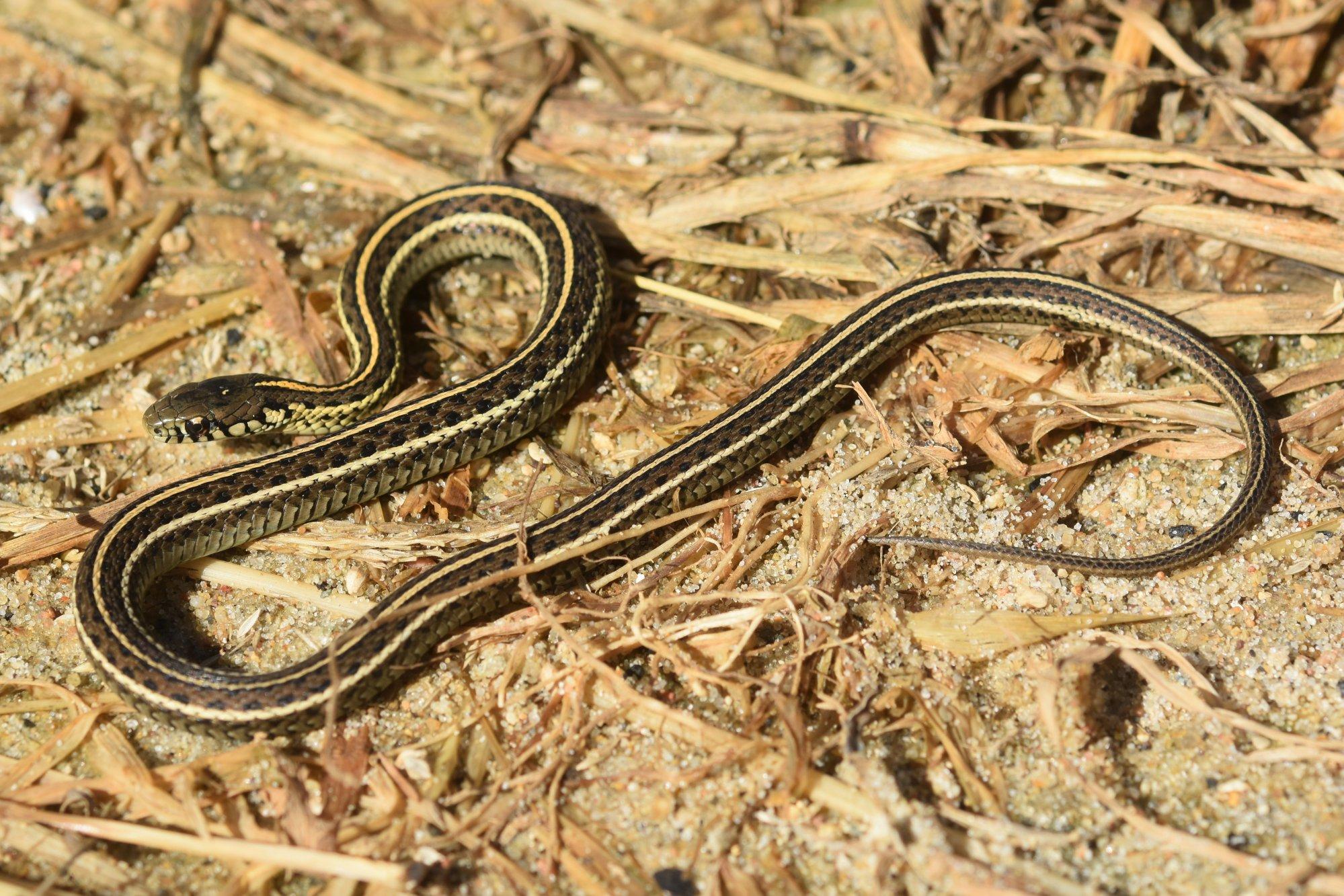 Plains Gartersnake (Thamnophis radix) - Amphibians and