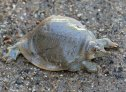Smooth Softshell (Apalone mutica)