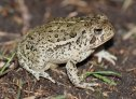 Woodhouse's Toad (Anaxyrus woodhousii)