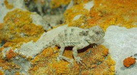Greater Short-horned Lizard (Phrynosoma hernandesi)