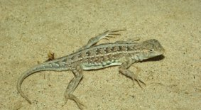 Common Lesser Earless Lizard (Holbrookia maculata)