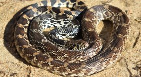 Gophersnake (Pituophis catenifer)