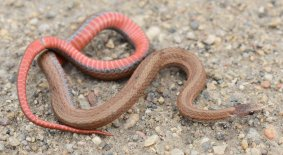 Red-bellied Snake (Storeria occipitomaculata)
